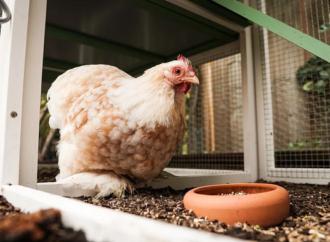 Comment avoir une bonne cabane à poules?