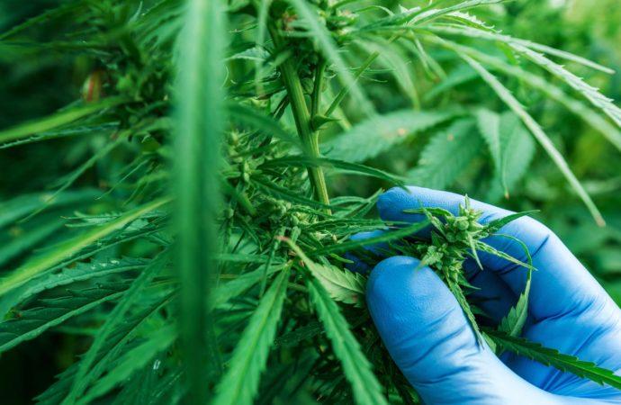 Expérimentation du cannabis en Suisse et point sur la légalisation du cannabis médical